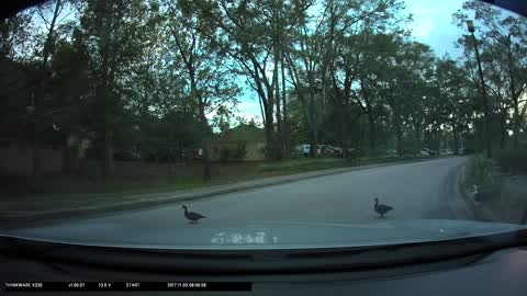 STOP FOR THE DUCKS